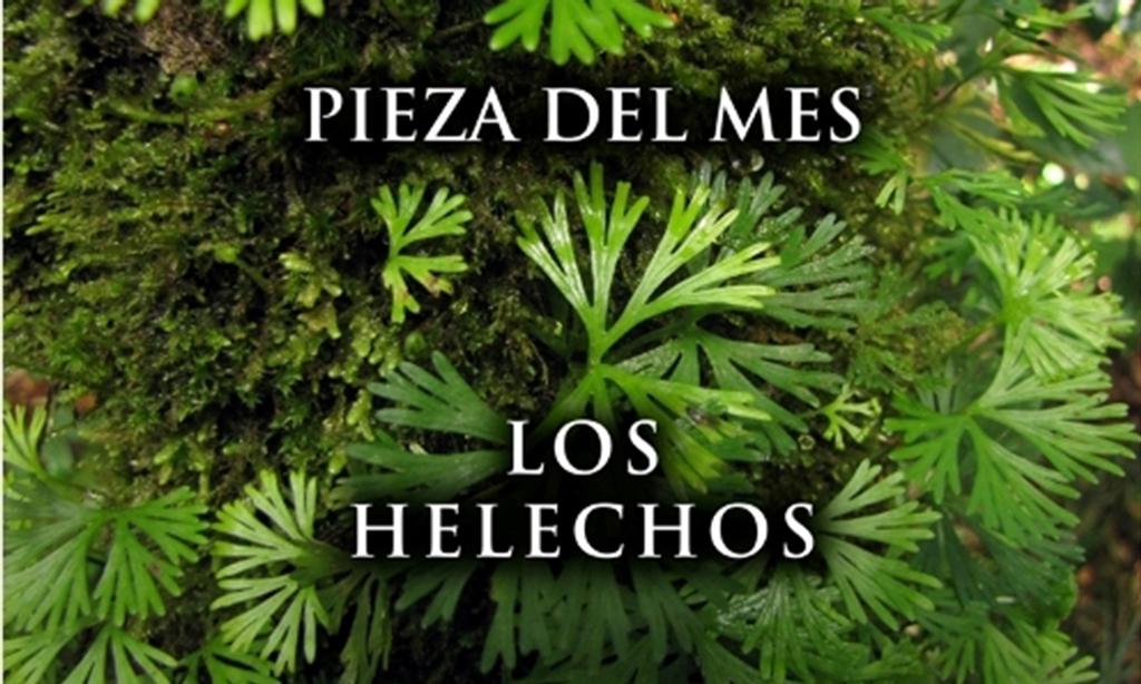 Los helechos pieza del mes de octubre en el museo de for Plantas ornamentales helechos