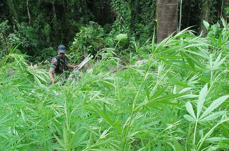 Cae sicario de la MS cuando cultivaba marihuana en San Miguel - diario1.com