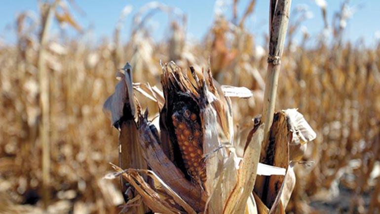 Cultivos de maíz dañados por la sequía.Foto D1: Cortesía