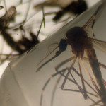 Aedes aegypti es el mosquito que transmite el virus del Zika. Foto D1/ Marvin Recinos / AFP.