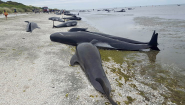 "This handout from Radio New Zealand taken and released on February 10, 2017 shows pilot whales which beached themselves overnight at Farewell Spit in the Golden Bay region at the northern tip of New Zealand's South Island. More than 400 whales were stranded on the New Zealand beach on February 10, with hundreds already dead as volunteers tried to refloat the survivors, the Department of Conservation said. / AFP PHOTO / RADIO NEW ZEALAND / Tracy NEAL /  - New Zealand OUT / RESTRICTED TO EDITORIAL USE - MANDATORY CREDIT ""AFP PHOTO / RADIO NEW ZEALAND / TRACY NEAL"" - NO MARKETING NO ADVERTISING CAMPAIGNS - DISTRIBUTED AS A SERVICE TO CLIENTS - NO ARCHIVES"
