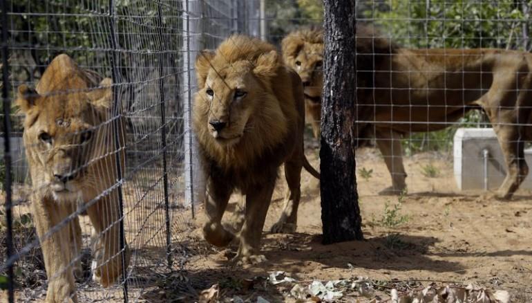 Escapa león y mata a empleado — Carolina del Norte