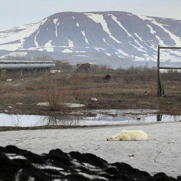 oso polar2