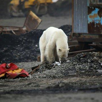 oso polar3