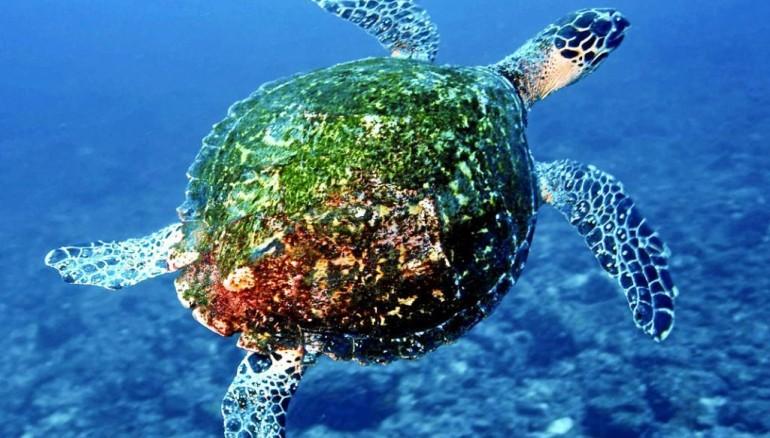 Tortuga de mar. Tortuga verde en un arrecife de la isla de Coiba. Foto: Cortesía
